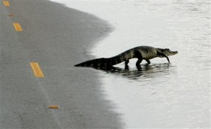aligatoras