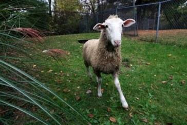 Δεκάδες πρόβατα κλάπηκαν από… μάλλινη πόλη