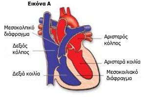 Η φυσιολογική καρδιά και η λειτουργία της