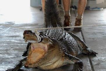 Κροκόδειλος κατασπάραξε κολυμβήτρια