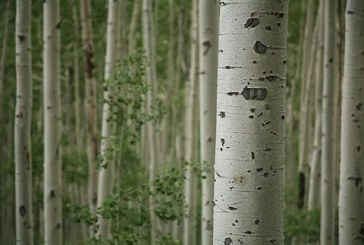 «Μεταλλαγμένα» δέντρα δίνουν περισσότερα βιοκαύσιμα