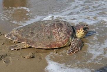 Δήμος Νάξου: Διευκρινίσεις για τα κρούσματα νεκρών θαλασσίων χελωνών