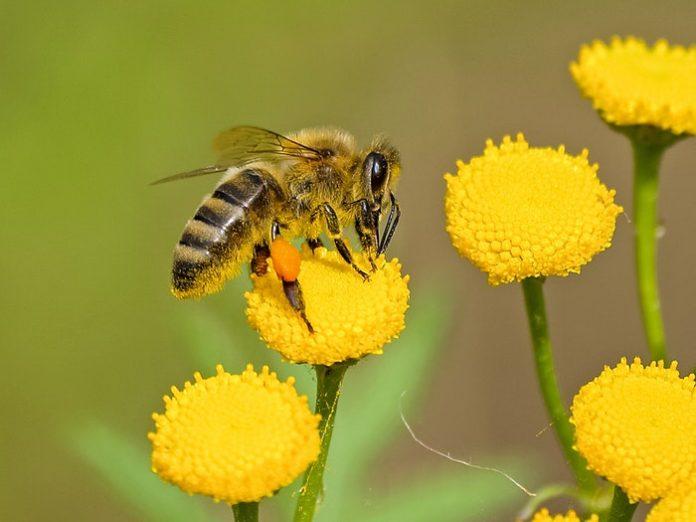 animal-bee-bloom-460961-696x522
