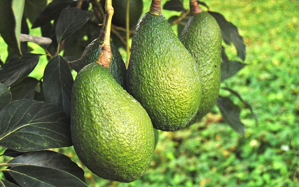 avocado-thumb-large