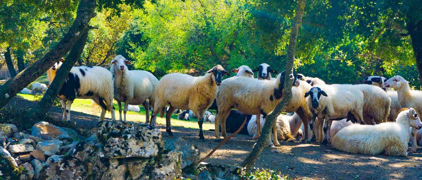 photo_1263327628_sheeps