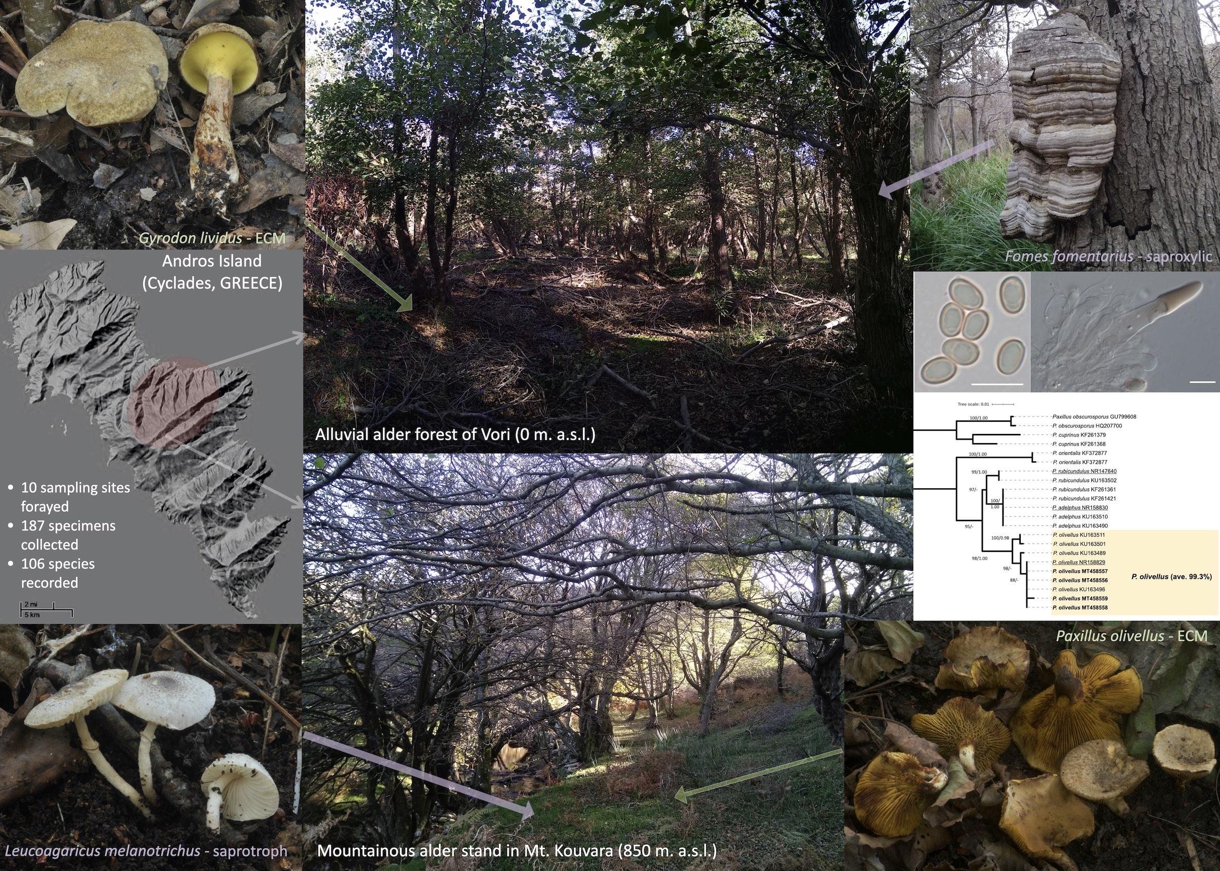 Η πολυετής μελέτη των μανιταριών της Άνδρου αποκαλύπτει τον μοναδικό πλούτο των δασών σκλήθρου