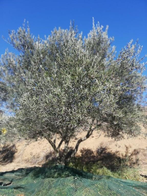 Περιφέρεια Ν. Αιγαίου: Στήριξη του τομέα ελαιολάδου λόγω της Πανδημίας Covid-19