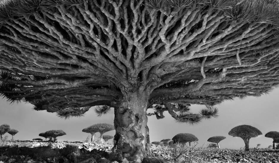 Φωτογραφίες από τα αρχαιότερα δέντρα του κόσμου