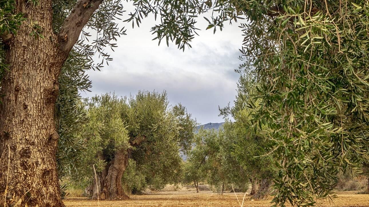 Επιχείρηση «σώστε τα υπεραιωνόβια ελαιόδεντρα» στο Νότιο Αιγαίο